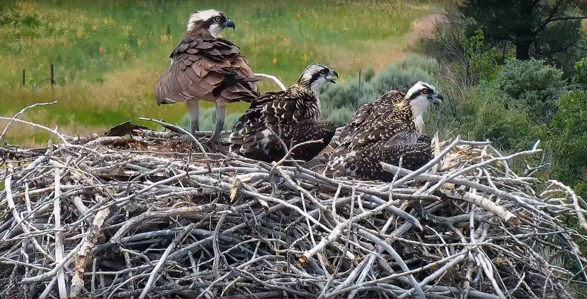 Osprey Cam, Emma, CO | Pitkin County, CO