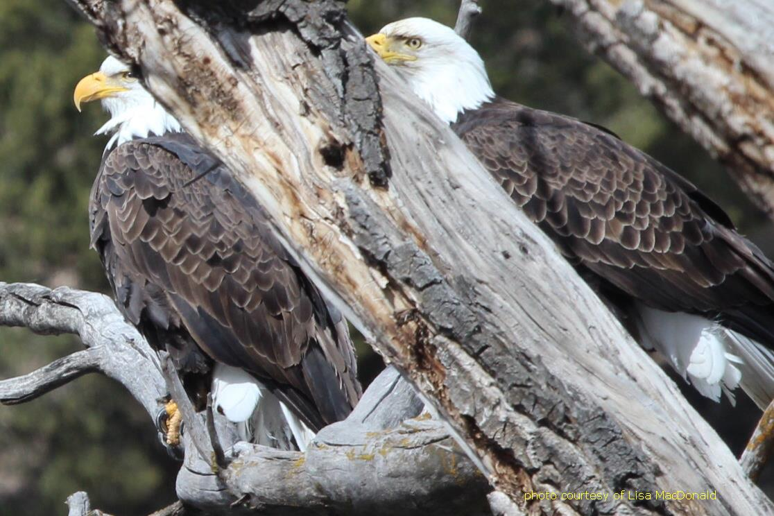 Bald Eagles along Roaring Fork River Basalt, CO